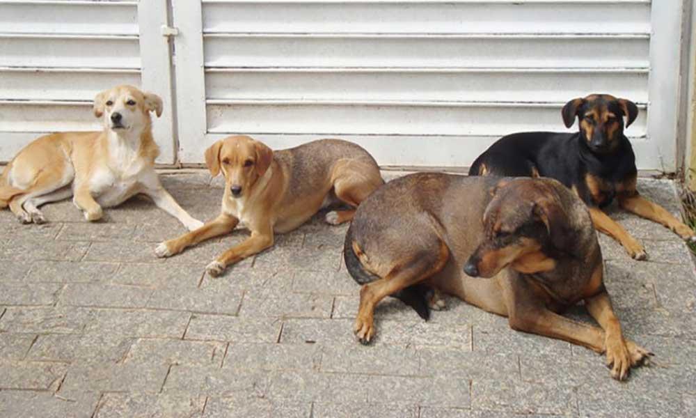 Bons Amigos no Palmarejo: mais de 100 cães castrados