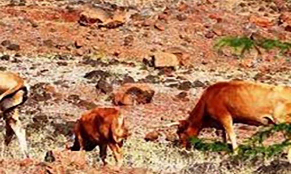 Seca está a matar gado no sul de Angola