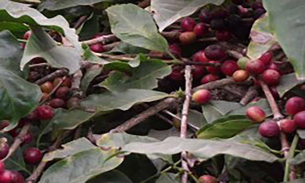 Fogo: Quinta edição do festival do café acontece neste fim-de-semana