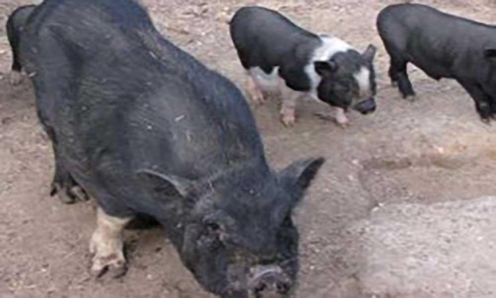 Bélgica vai abater 4.000 porcos para evitar peste suína africana