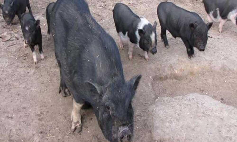 Porcos continuam a morrer na ilha cabo-verdiana da Boavista, causas ainda desconhecidas