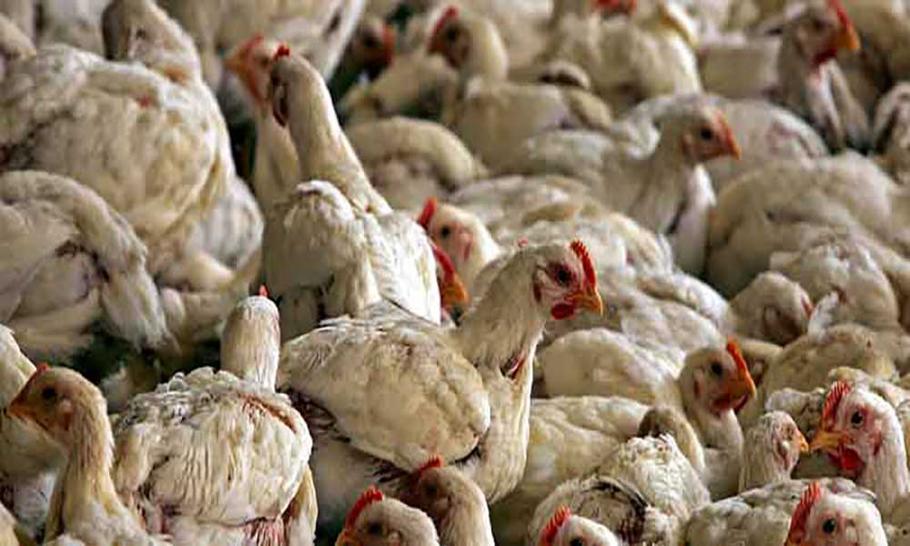 Cabo Verde em alerta para gripe aviária