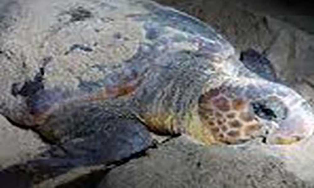 São Vicente: Biosfera I denuncia aumento da captura e comercialização de carne de tartaruga por falta de fiscalização