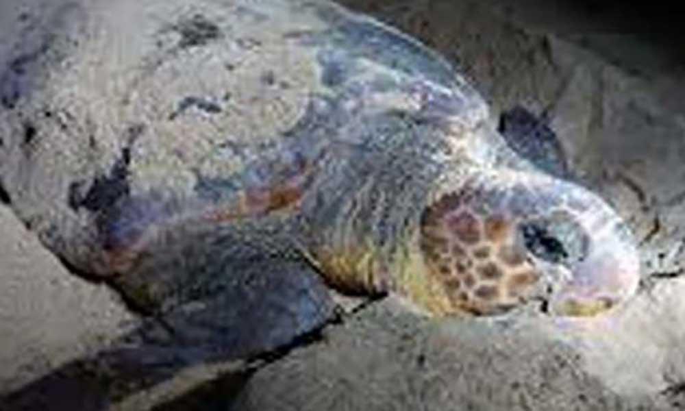 Maio: Estudo científico determina qualidade de encubação da tartaruga Caretta-caretta do arquipélago