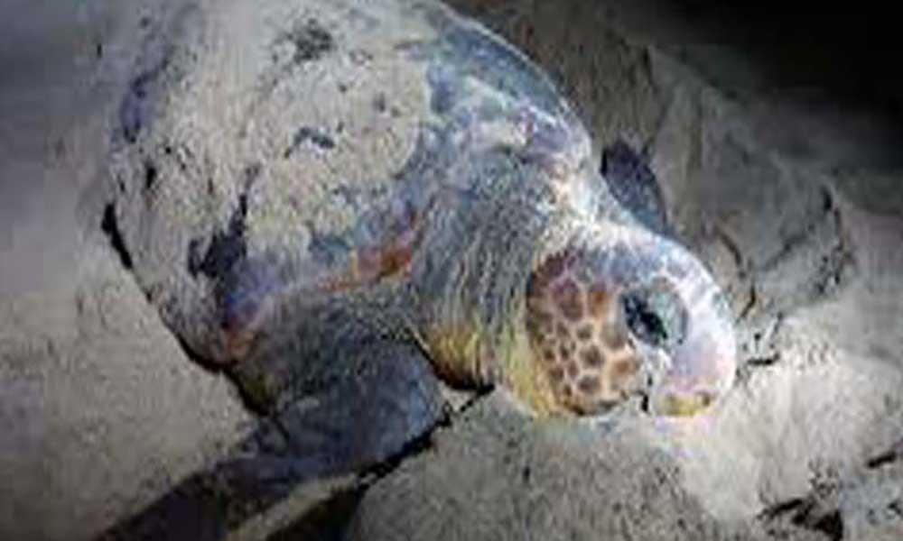 Desova das tartarugas: Areia Grande em Santa Cruz com mais de 15 ninhos registados