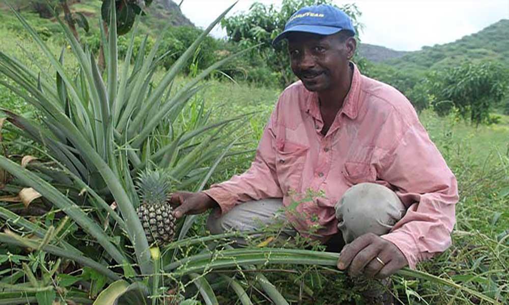 Santa Catarina: Empresário aposta na produção de ananás em João Gago