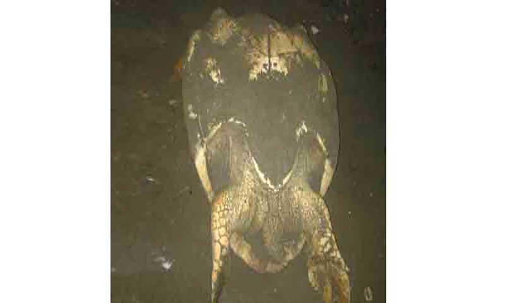 Praia: Tartarugas que estão a desovar em Quebra Canela correm risco de serem capturadas