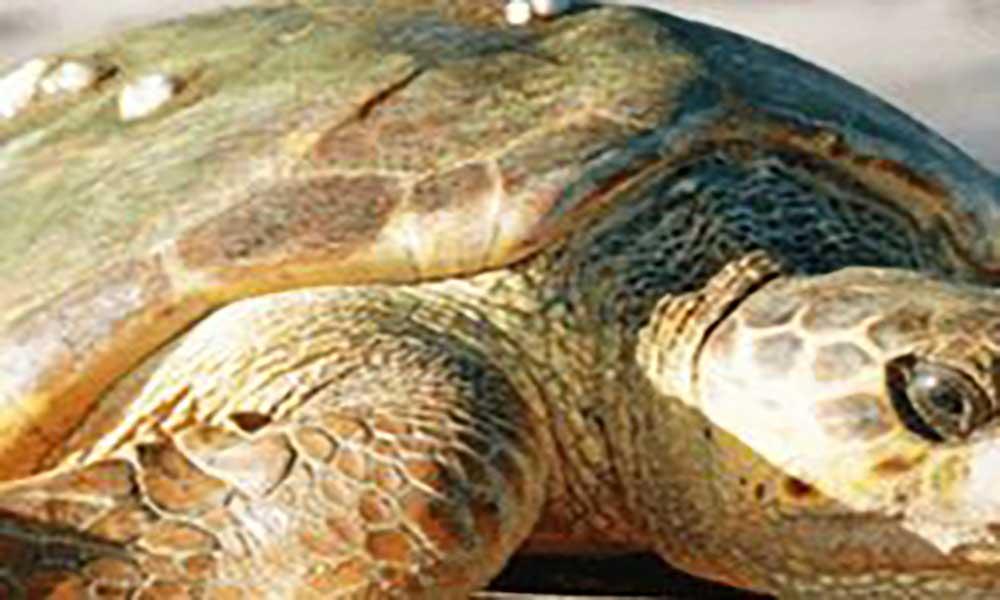 Proteção das tartarugas marinhas: Fundação Maio Biodiversidade ultima preparativos para a campanha de 2017