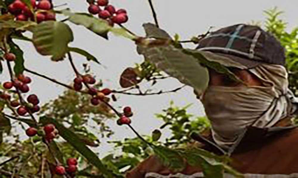Mosteiros/Fogo: IV edição do Festival do Café decorre em Abril e homenageia Félix Andrade