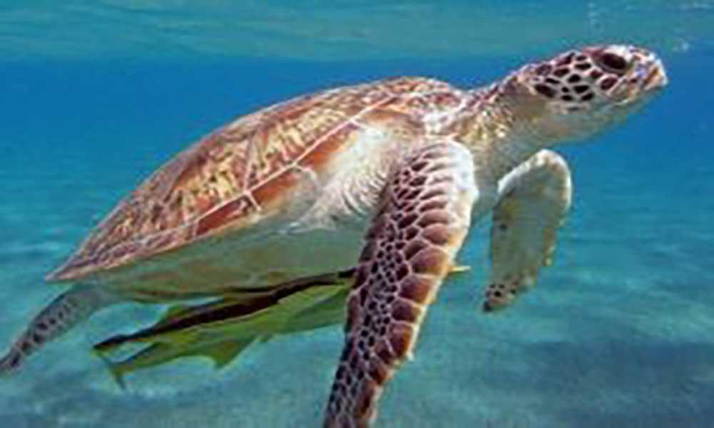 Observação de tartarugas no Sal e Boavista gera meio milhão de euros de receitas
