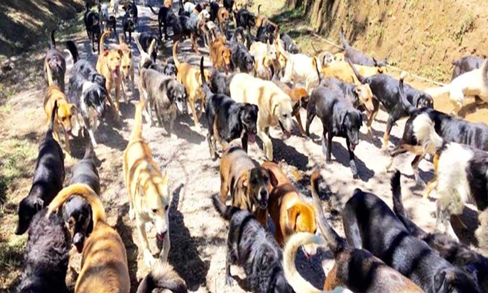Mais de 5 mil cães vadios andam a dizimar gado em Porto Novo