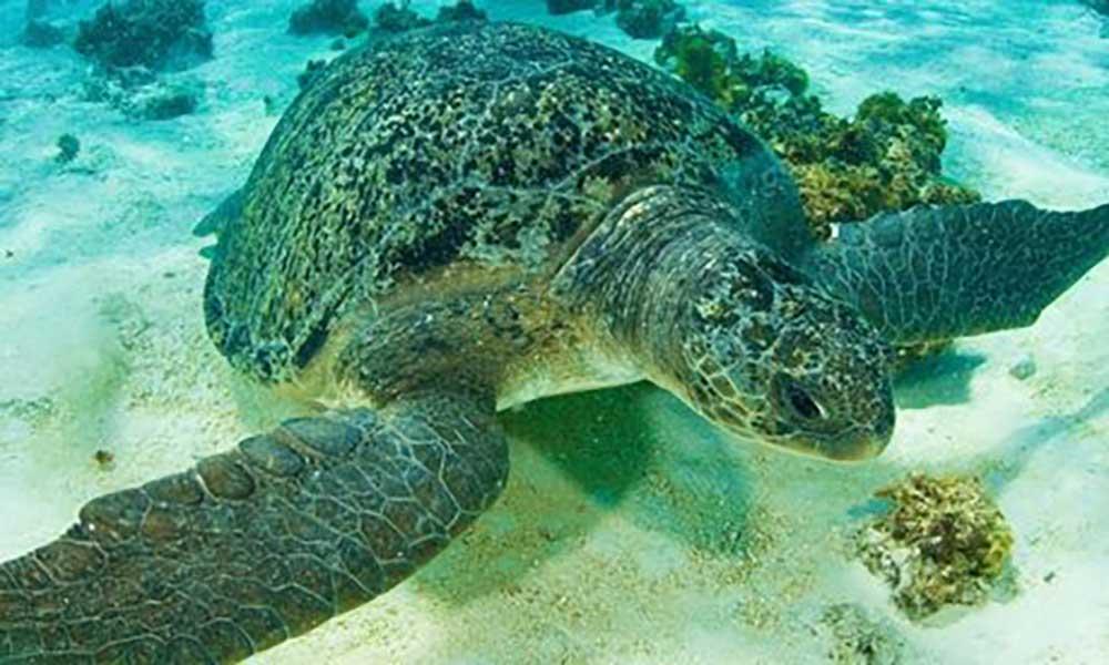 Mais desovas de tartarugas verdes registadas no Maio