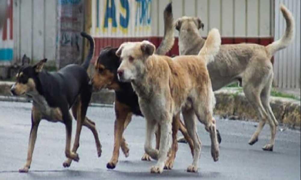 Cães vadiosvãocustar à Câmara Municipal de Santa Catarina 2200 contos