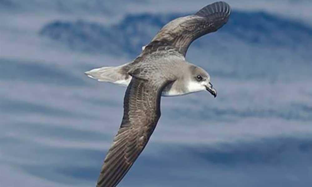 MAAlança projecto para conservação das aves marinhas de Cabo Verde