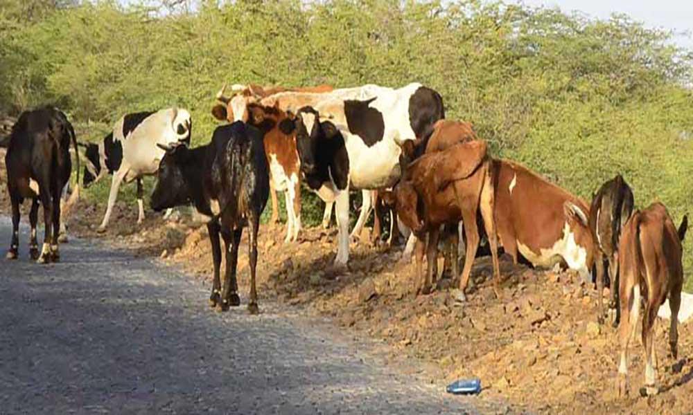 Mau ano agrícola: Animais vendidos ao desbarato devido à falta de pasto