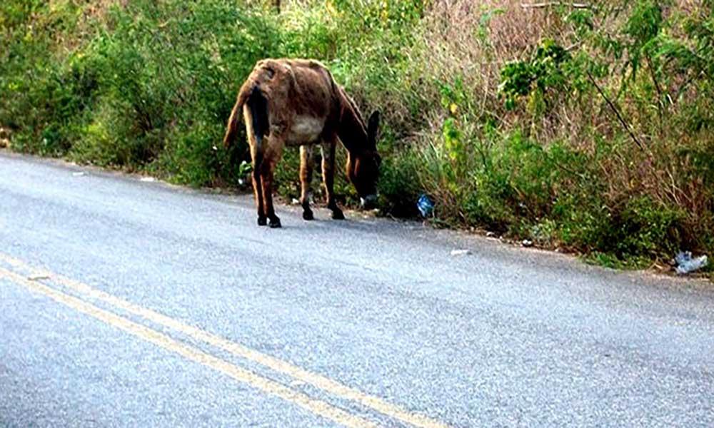 """Porto Novo: Animais """"desgovernados"""" voltam a provocar acidente de viação nas estradas do município"""
