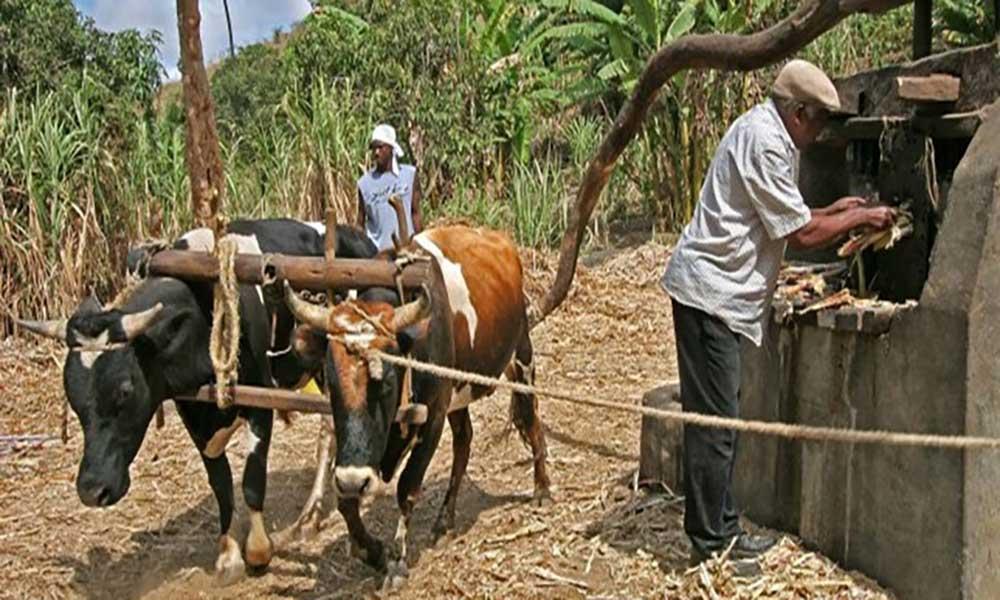 Governo decide antecipar em um mês o período de produção de aguardente de cana-de-açúcar