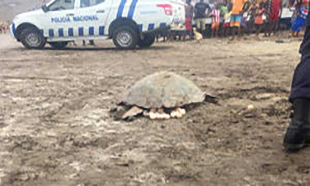 Sal: PN captura dois indivíduos acusados por abate e comercialização de tartaruga