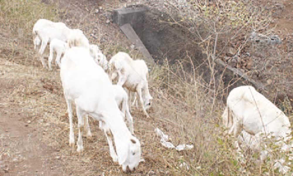 Santa Catarina: Criadores de gado a braços com praga de pulgas