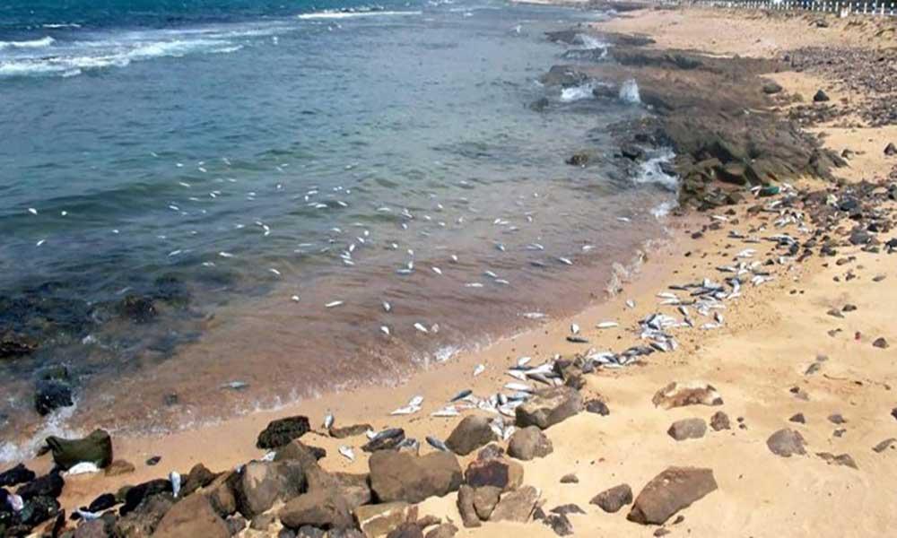 São Vicente: Peixe putrefacto dá à costa entre Cova de Inglesa e Galé