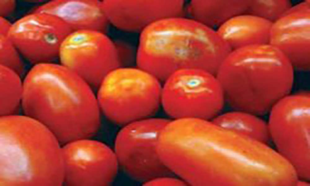 São Lourenço dos Órgãos: Pina aposta na produção de tomate em grande escala