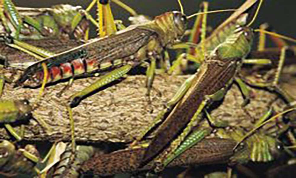 Ministério da Agricultura e ambiente inicia combate à praga de gafanhotos