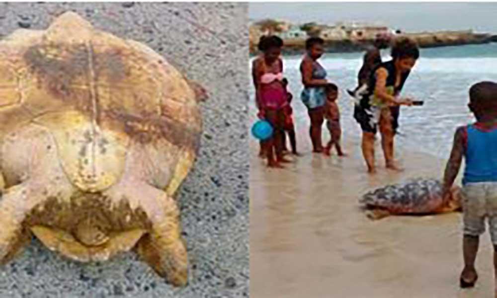Tartaruga resgatada na ilha do Maio