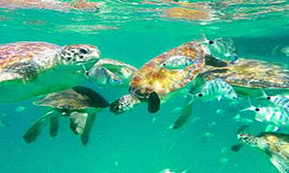 São Pedro, São Vicente: Nadar com tartarugas, uma experiência única